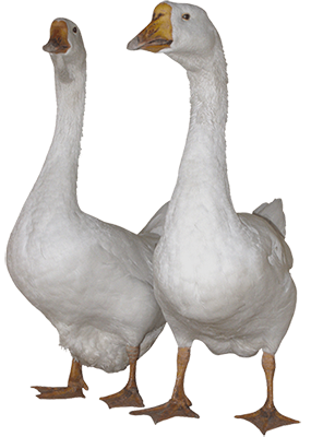 K9 Doodie Patrol geese Geese and Deer Waste Cleanup